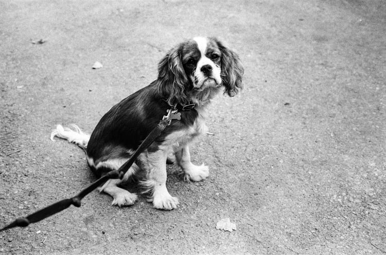 Harry the King Charles Cavalier Spaniel-13