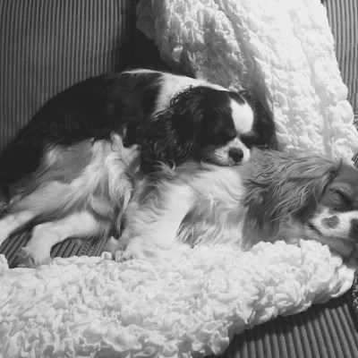 Athena & Harry, Cavalier King Charles Spaniels